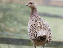 Hen Pheasant (Phasianus Colchicus). Hen Pheasant with Spring plumage Stock Photography