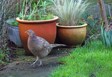 Hen pheasant walking in back yard. Royalty Free Stock Photography