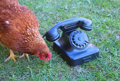 The hen and the phone. An hen near the phone in the grass Royalty Free Stock Photography