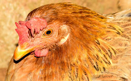 Hen portrait Royalty Free Stock Photography