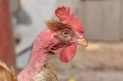 Hen portrait Royalty Free Stock Photos