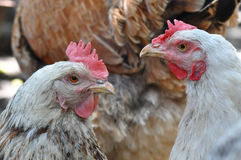 Hen portrait. Portrait of two old hens with blurry background Stock Images