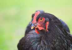 Hen profile Royalty Free Stock Images