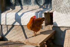 Hen. A red hen in the country side Stock Photography