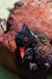 Hen with red eyes Stock Image