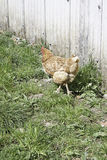 Hen released Stock Photography