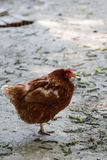 Hen resting Stock Photography