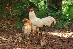 Hen & Rooster Royalty Free Stock Image