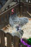 Hen and rooster in the aviary, a zoo, a symbol of 2017, Royalty Free Stock Photography
