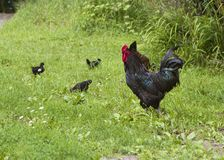 Hen, Rooster and Chicklets Royalty Free Stock Image