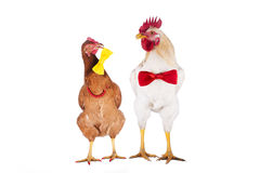 Hen and rooster choose a tie for the holiday Stock Photos
