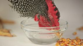 Hen and rooster drink water stock footage