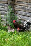 Hen and rooster on grass and log barn Royalty Free Stock Image