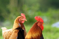 Hen and rooster over green background Stock Photography
