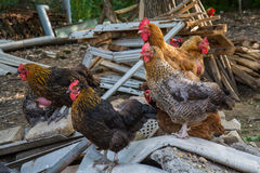 Hen and rooster on traditional free range poultry farm Royalty Free Stock Image