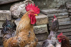 Hen and rooster on traditional free range poultry farm Royalty Free Stock Photos