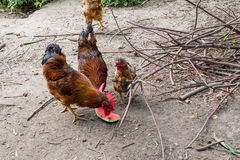 Hen and rooster on traditional free range poultry farm Royalty Free Stock Photo