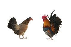 Hen and rooster Royalty Free Stock Images