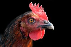 Hen's Portrait Stock Photo