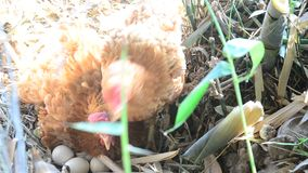 Hen's trying to hatching. In forest stock video