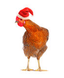 Hen in a Santas hat. Stock Photo