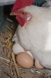 Hen with several fresh big eggs royalty free stock photography