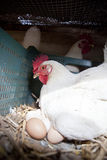 Hen with several fresh big eggs Stock Image