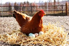 A Hen sitting down on her eggs outside. Hen sitting down on her eggs outside on a farm Royalty Free Stock Photos