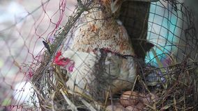 Hen sitting on eggs safety for her offspring. Hen sitting on eggs in the net safely for her offspring in the farm stock footage