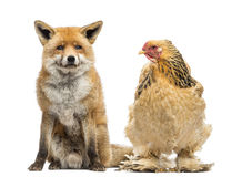 Hen sitting next to a Red fox, Vulpes vulpes, looking at it Royalty Free Stock Images