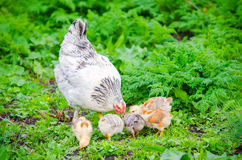 Hen with small cute baby chicken. Hen with chicks pecking in the green grass on a sunny day with virbant colors and a natural healthy home grown look stock photos