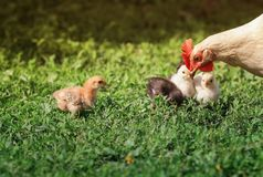 Hen and small fluffy colorful chickens walk on the lush green grass in the yard of the farm on a Sunny spring day. Hen and fluffy colorful chickens walk on the stock photos