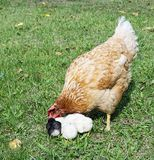 Hen with nestling on herb Royalty Free Stock Photos