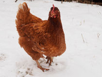 Hen On Snow royaltyfri fotografi