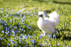 Hen on the sunny backyard Royalty Free Stock Photography