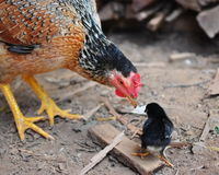 Hen taking care of chick Royalty Free Stock Images