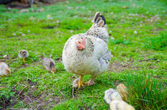 A hen taking care of her chicks Royalty Free Stock Images