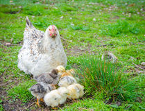 A hen taking care of little chicks Royalty Free Stock Photos