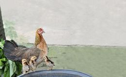 The hen and three chicks. Stock Photography