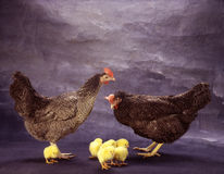 Hen to the chickens Royalty Free Stock Image