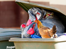 Hen in trash container Stock Photography