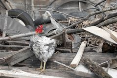 Hen between trash on farm yard Stock Images