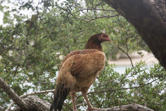 A Hen on a Tree Stock Photography