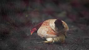 Hen try to protect chick by sitting for safety for her offspring. Hen try to protect chick by sitting for safety for her offspring in the farm stock video footage