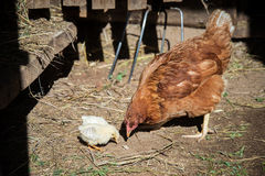 A hen with two chickens in the barn. Red hen with two chickens in a barn searching for food Stock Images