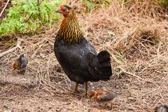 Hen with Two Chickens Royalty Free Stock Photos