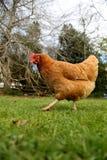 Hen2 vermelho Foto de Stock