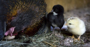 A hen is waiting for the last of her eggs to hatch Stock Image