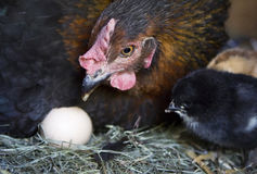 A hen is waiting for the last of her eggs to hatch Stock Images
