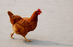 Hen on walk Stock Images